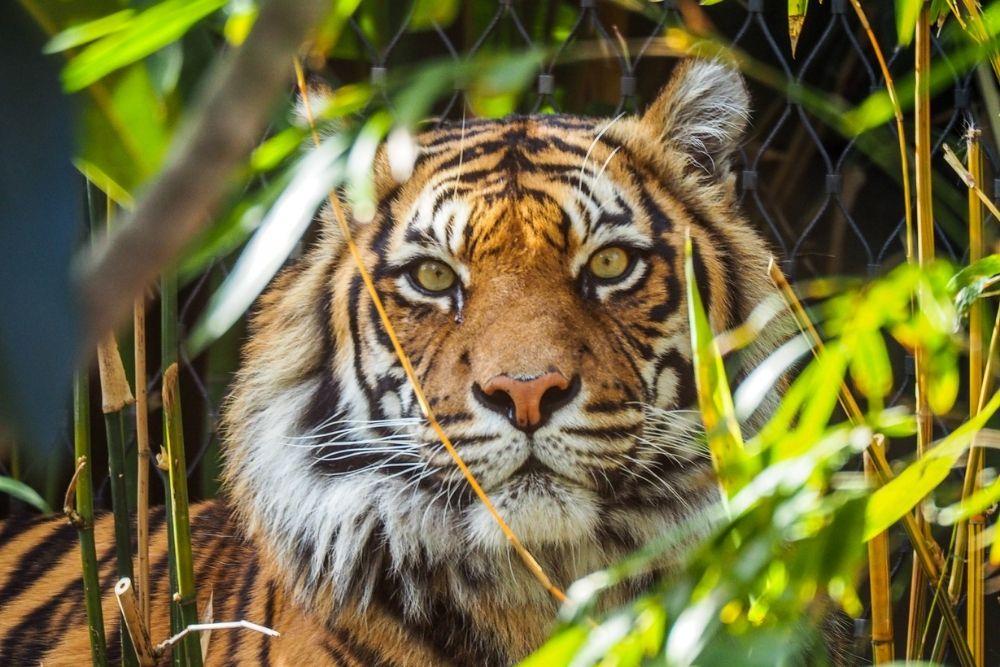 tigru zoo