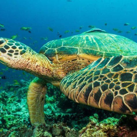 Green Turtle, (Chelonia Mydas) Philippines