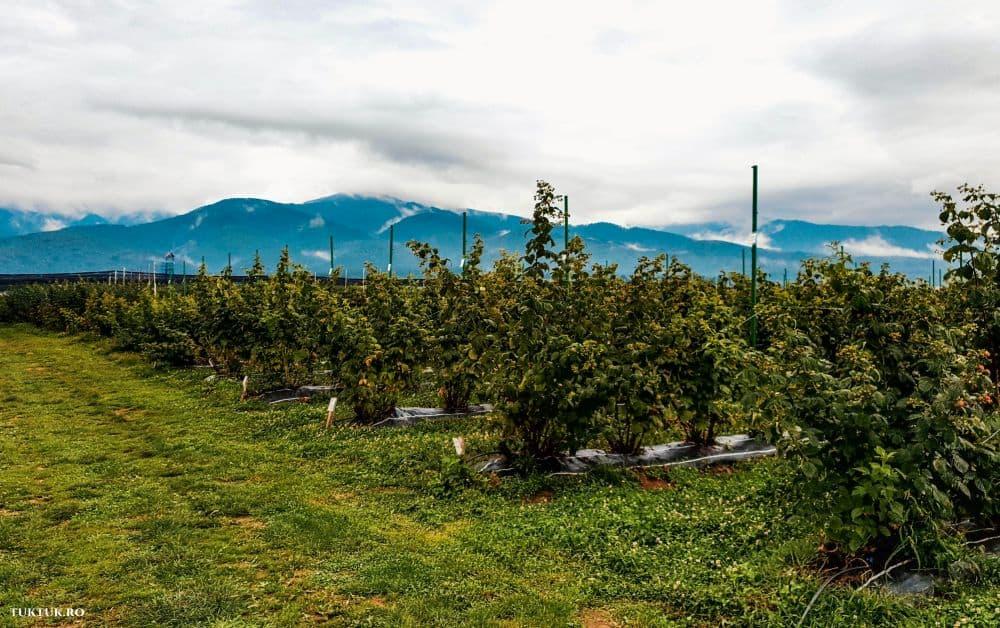transylvania berry